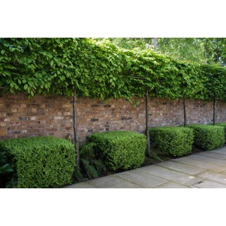 Carpinus betulus Pleached